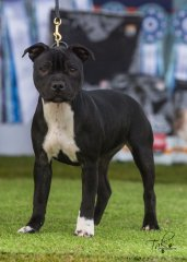 2nd Baby Puppy Bitch - West of the Divide Staffordshire Bull Terrier Club Saturday 22.06.19
