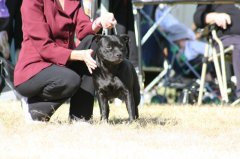 Ziggy with Jody at the Sporting Terrier Club Show 2008